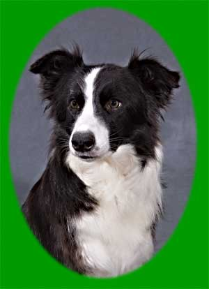 Border Collie Portrait Mastamariner Blackthorn