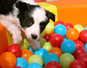 retrievers golden retriever puppy growth chart golden retriever puppy