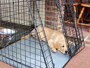 BORDER COLLIE AND GOLDEN RETRIEVER PROBLEMS AND BEHAVIOUR BEHAVIOR ...