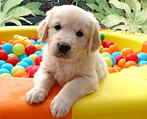 Image result for golden retriever in ball pit