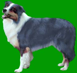 ... BORDER COLLIES, TRICOLOUR BORDER COLLIES, BLUE BORDER COLLIES, BROWN
