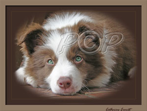 Red Border Collie Puppies For Sale