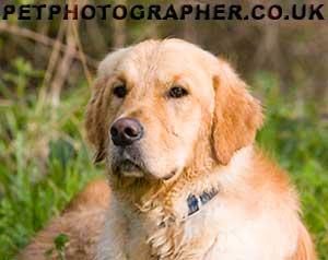 Golden retriever for sale hampshire uk