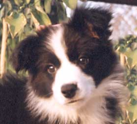 Border Collie Puppies For Sale Border Collie Breeder Uk Border
